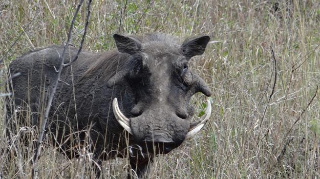 African safari tours; Warthog
