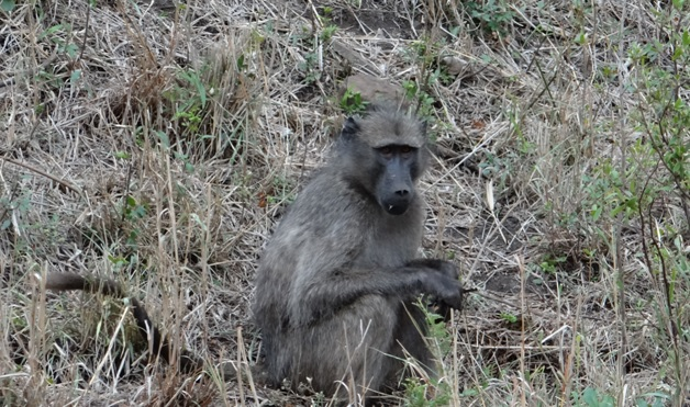 Durban safari tour; Baboon