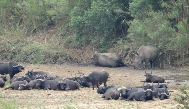 Hluhluwe game reserve; Buffalo and Rhino in the riverbed