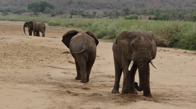 Hluhluwe game reserve; Elephant in the riverbed