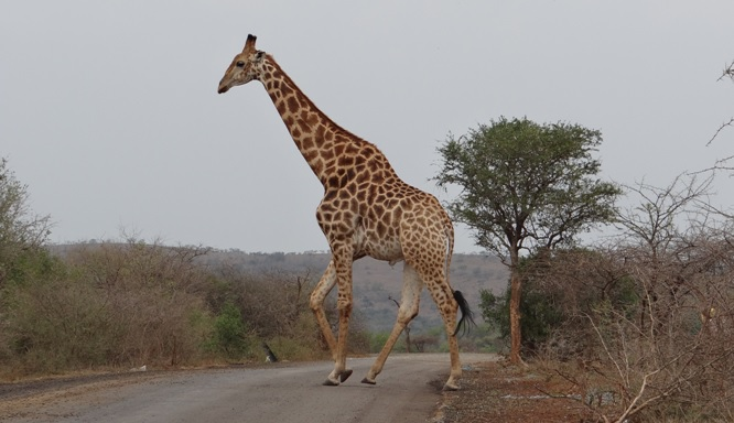 Hluhluwe game reserve; Giraffe crosses road