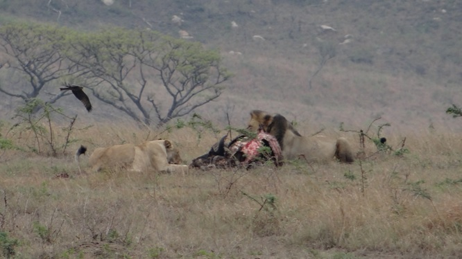 Hluhluwe game reserve; Lions feeding on a Buffalo