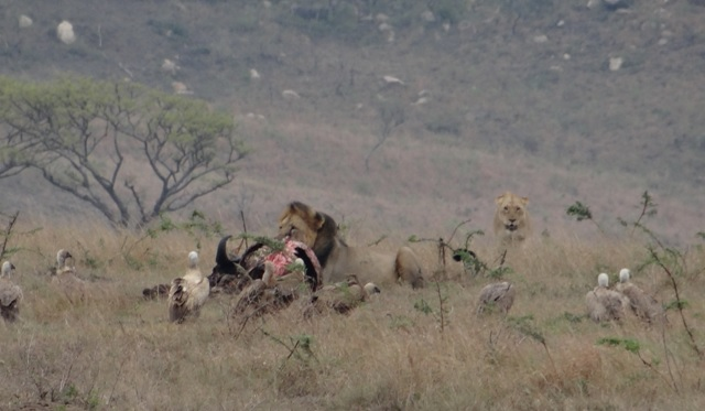 Hluhluwe game reserve; Lions on a kill