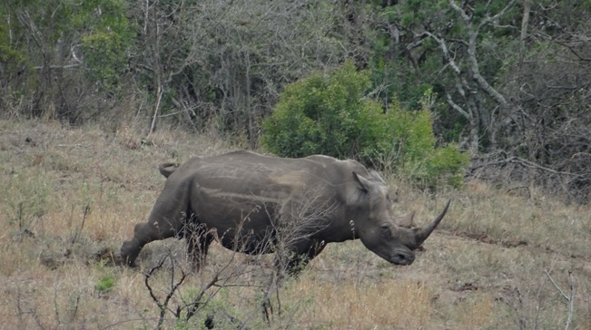 Hluhluwe game reserve; Rhino marks his territory