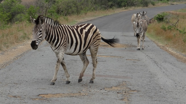 Hluhluwe game reserve safari Zebra walking down road