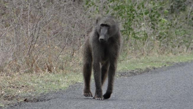 Umfolozi game reserve; Baboon