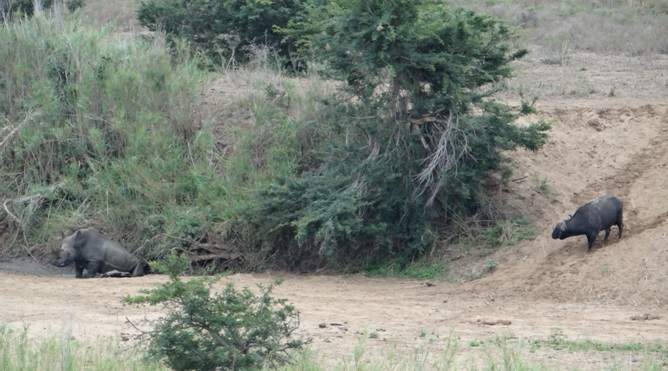 African safari tours; Buffalo give a Rhino a fright