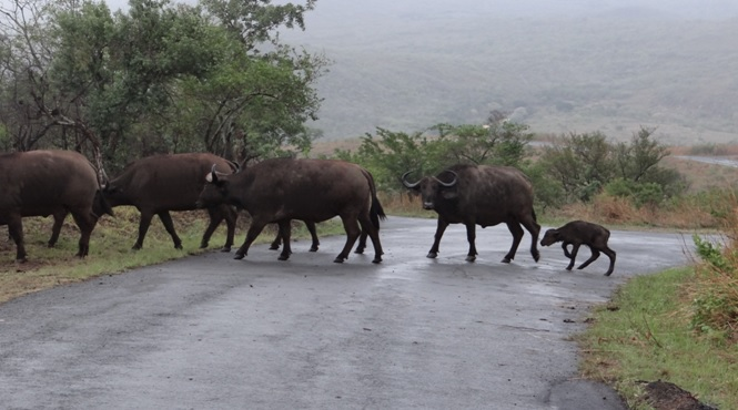 African safari tours; Buffalo