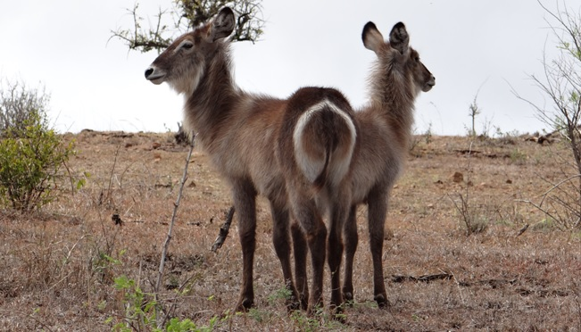 African safari tours; Waterbuck