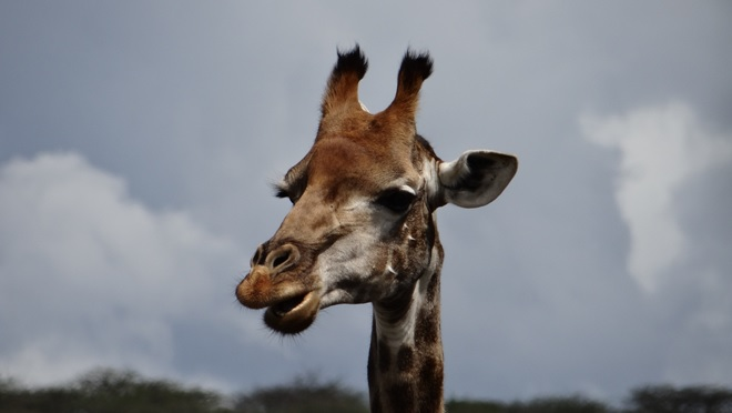 Durban mini safaris; Giraffe