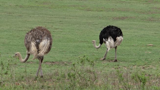 Durban mini safaris; Ostrich