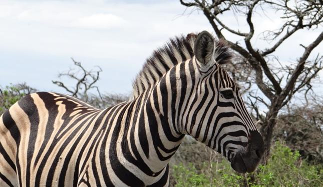 Durban mini safaris; Zebra