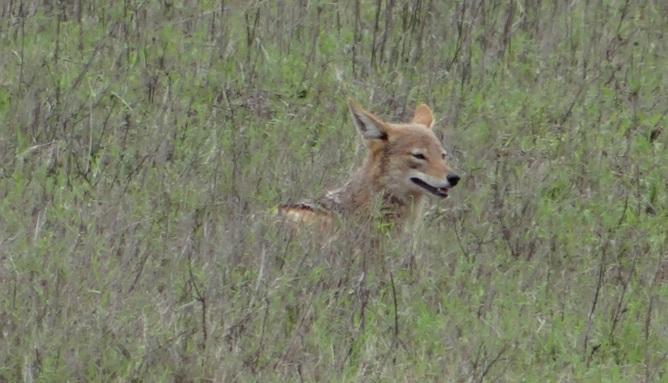 Durban safari; Black backed Jackal