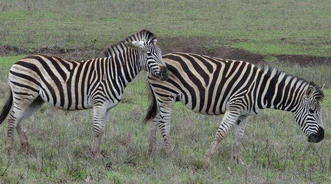 Durban safari; Zebra