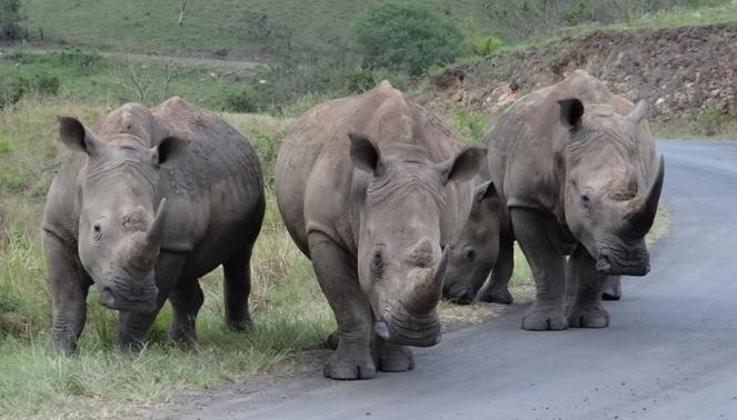 Hluhluwe game reserve 4 day safari; Crash of Rhino
