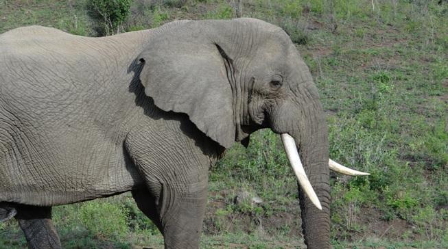 Hluhluwe game reserve 4 day safari; Elephant bull