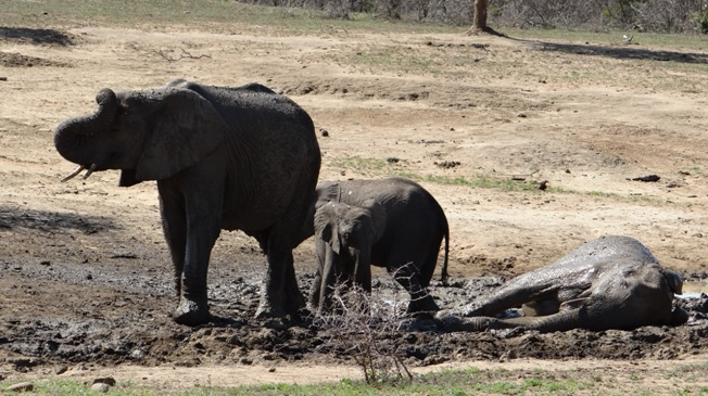 Hluhluwe game reserve 4 day safari; Elephants mud wallowing