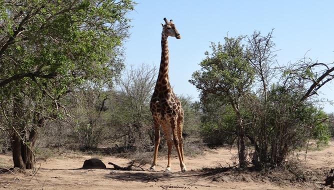 Hluhluwe game reserve 4 day safari; Giraffe