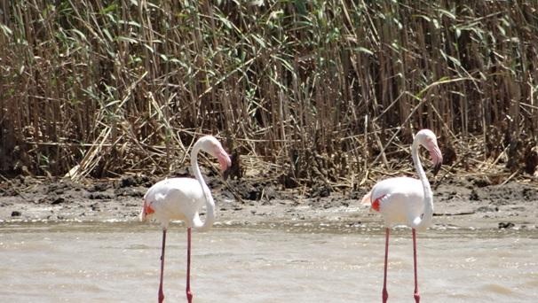 Hluhluwe game reserve 4 day safari; Greater Flamingo