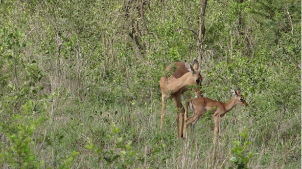 Hluhluwe game reserve 4 day safari; Impala new born