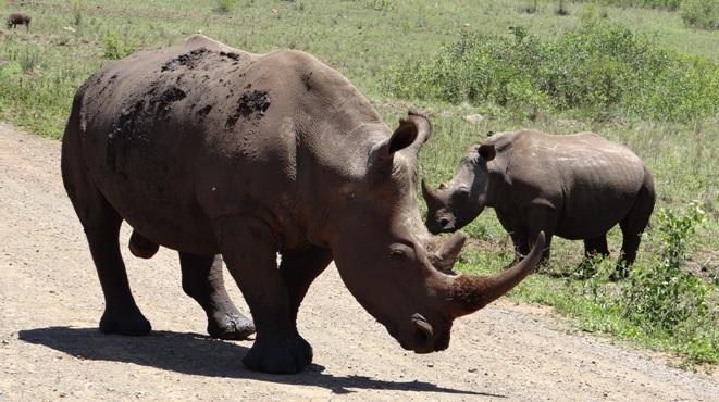 Hluhluwe game reserve 4 day safari; Rhino on the road