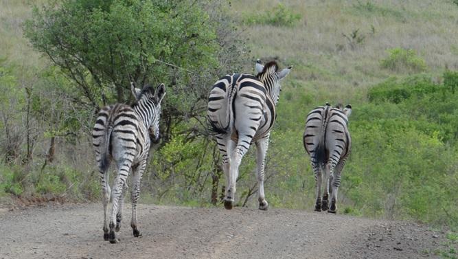 Hluhluwe game reserve 4 day safari; Zebra