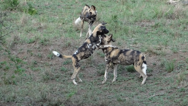 African safari tour; African Wild Dogs