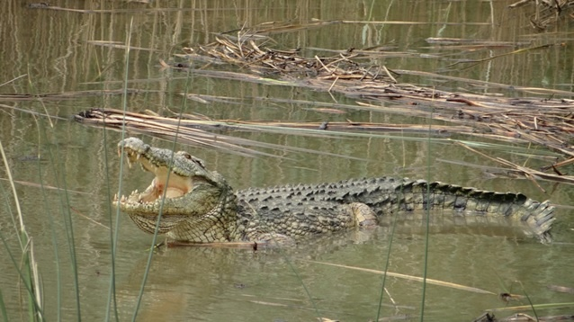 African safari tour; Crocodile