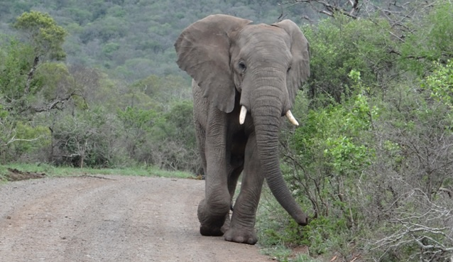 African safari tour; Elephant on road