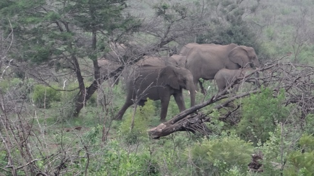 African safari tour; Elephants