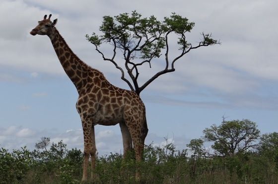 African safari tour; Giraffe