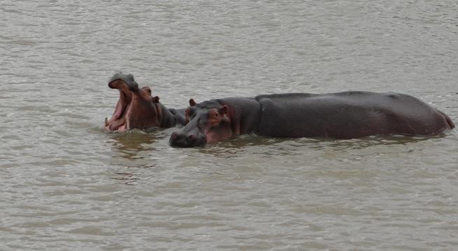 African safari tour; Hippos