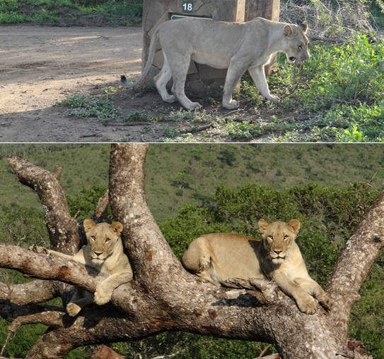 African safari tour; Lion plays with stick and Lions in tree