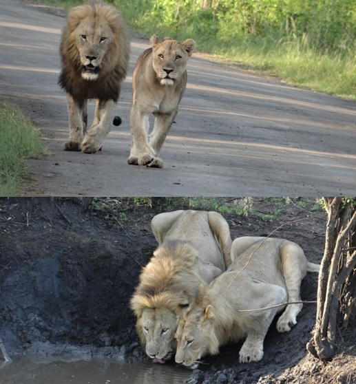 African safari tour; Lions on road and drinking