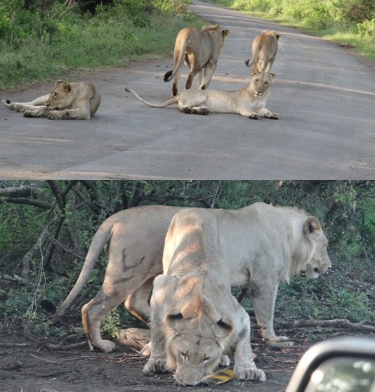 African safari tour; Lions on road and playing with road work markings