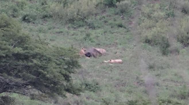 African safari tour; Lions