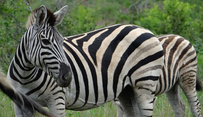 African safari tour; Zebra