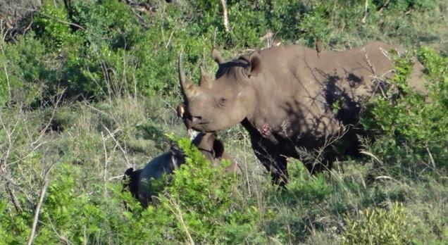 Durban safari tour; Black Rhino