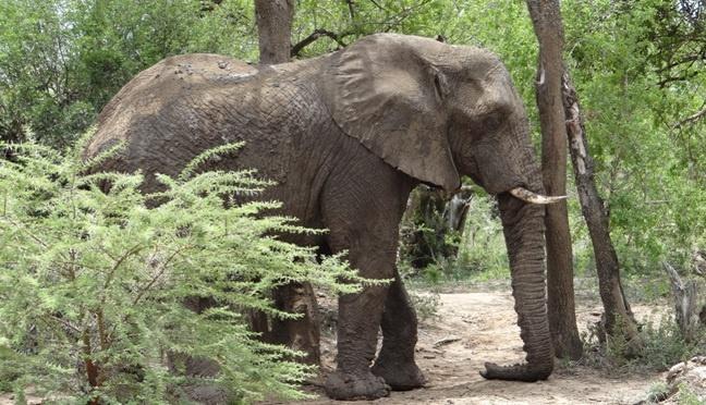 Durban safari tour; Elephant rests