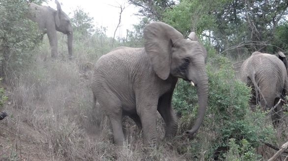 Durban safari tours; Elephant slips on hill