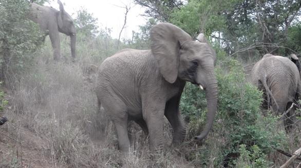 Durban safari tour; Elephant slips on hill