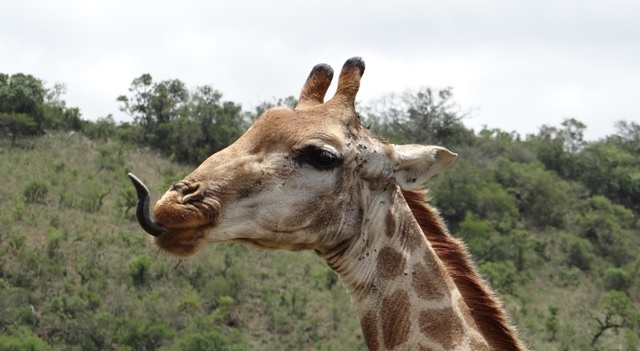 Durban safari tours; Giraffe with tongue out