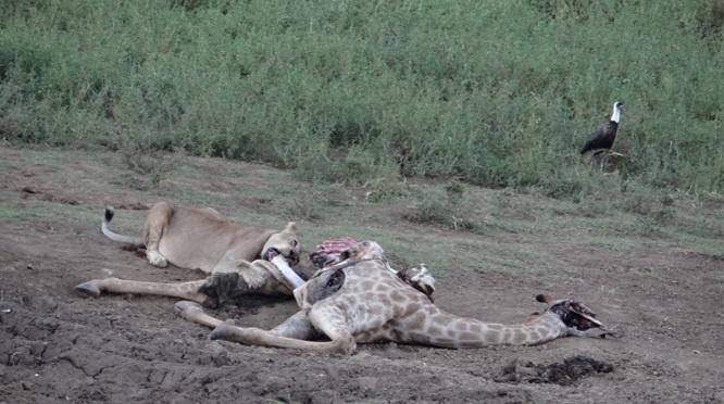 Durban safari tour; Lion feeding on Giraffe