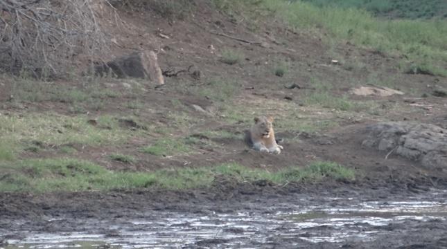 Durban safari tour; Lion