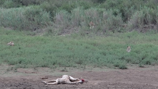 Durban safari tours; Lions killed Giraffe
