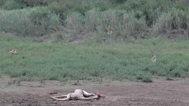 Durban safari tour; Lions killed Giraffe