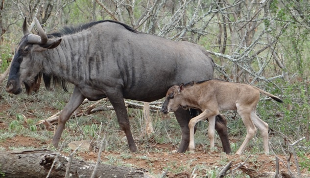 Durban safari tours; New born Wildebeest