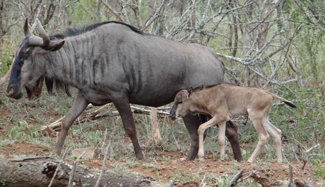 Durban safari tour; New born Wildebeest