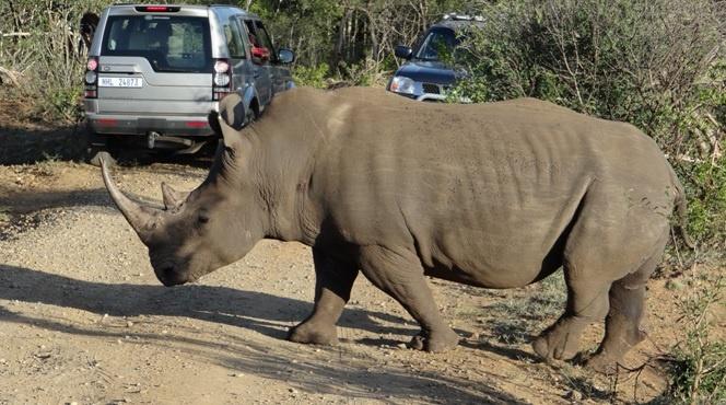 Durban safari tour; Rhino crossing
