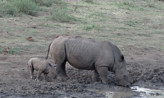 Durban safari tours; Rhino mother and calf